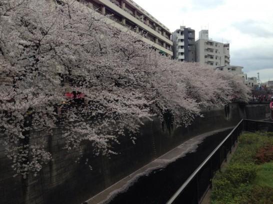 中目黒_お花見_桜